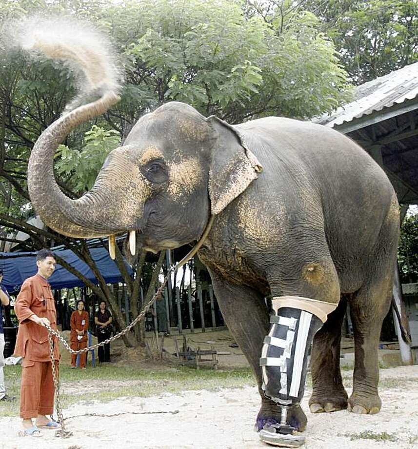 Motola, a 48-year-old female elephant who lost part of her left front leg after stepping on a land mine 10 years ago, uses her trunk to splash dust in the air after walking out of an enclosure with her newly-installed artificial leg at the Elephant Hospital in Lampang province, northern Thailand Sunday, Aug. 16, 2009. Motola became a symbol of the plight of today's elephants, her injury sparked international sympathy and donations. (AP Photo/Apichart Weerawong) Photo: Apichart Weerawong, AP