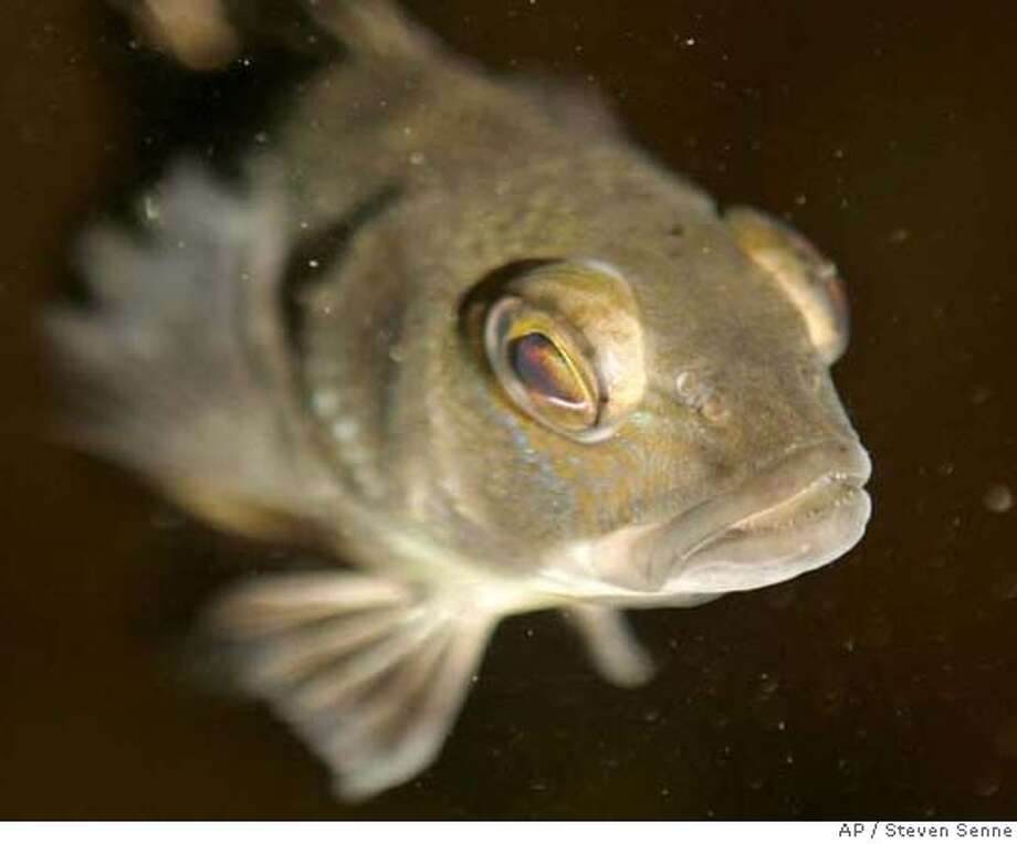 ###Live Caption:A six-month-old sea bass swims to the water surface in a tank at the Marine Biological Laboratory, in Wood's Hole, Mass., Tuesday, March 25, 2008. The fish live and grow in the tank at the laboratory until they are large enough to participate in an experiment where their behavior may be influenced by a sound broadcast into the water. (AP Photo/Steven Senne)###Caption History:A six-month-old sea bass swims to the water surface in a tank at the Marine Biological Laboratory, in Wood's Hole, Mass., Tuesday, March 25, 2008. The fish live and grow in the tank at the laboratory until they are large enough to participate in an experiment where their behavior may be influenced by a sound broadcast into the water. (AP Photo/Steven Senne)###Notes:###Special Instructions: Photo: Steven Senne