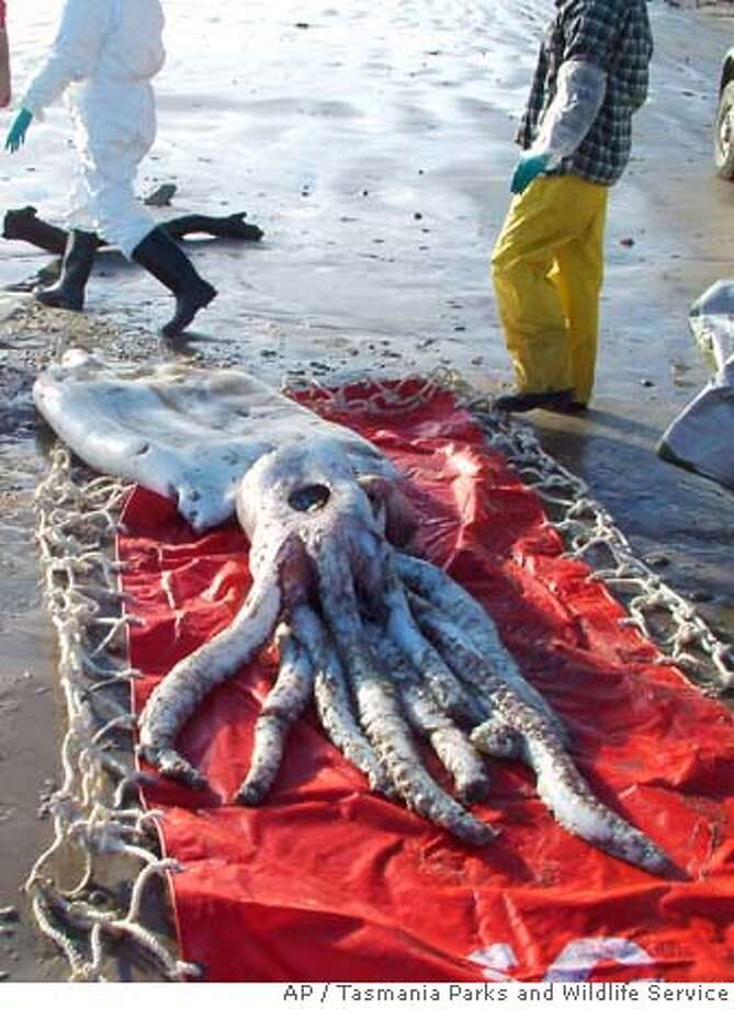 In this photo released by Tasmania Parks and Wildlife Service, a giant squid is seen after it washed up onto Ocean Beach in Strahan, Tasmania, Tuesday, July, 10. 2007. The squid, measuring 1 meter (3 feet) across at its widest point and 8 meters (26 feet) from the tip of its body to the end of its tentacles, was found early Wednesday by a beachcomber at Ocean Beach on the island state of Tasmania's west coast. (AP Photo/Tasmania Parks and Wildlife Service, HO) Photo: Xx