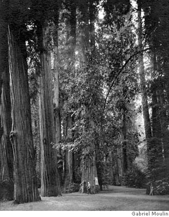 ###Live Caption:Some of the giant redwoods in the Bohemian Grove are 300 feet tall and 1,000 years old. Ran on: 07-12-2007 Ancient redwoods in the Bohemian Grove have lured members to the woodland for 135 years.###Caption History:PRIVATECLUBS  BOHEMIAN CLUB  GABRIEL MOULIN PHOTO, 153 KEARNY ST., SF, CA  Ran on: 07-12-2007  Some of the giant redwoods in the Bohemian Grove are 300 feet tall and 1,000 years old.  Ran on: 07-12-2007  Ancient redwoods in the Bohemian Grove have lured members to the woodland for 135 years.###Notes:###Special Instructions: Photo: GABRIEL MOULIN PHOTO