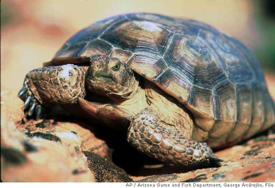 ** FILE ** This image provided by the Arizona Game and Fish Department shows a Mohave Desert tortoise in May, 1992. Scientists have begun moving the Mojave Desert's flagship species, the desert tortoise, to make room for tank training at the Fort Irwin military base despite protests by some conservationists. The controversial project, billed as the largest desert tortoise move in California history, involves transferring 770 endangered reptiles from Army land to a dozen public plots overseen by the Bureau of Land Management (AP Photo/Arizona Game and Fish Department, George Andrejko, File) Photo: GEORGE ANDREJKO