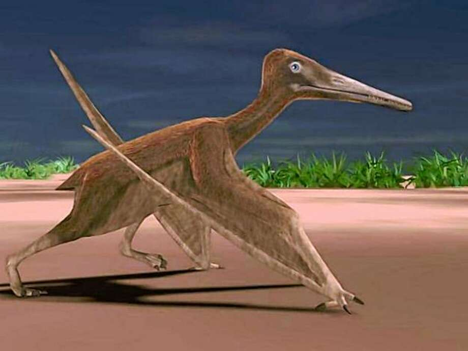 "BEST QUALITY AVAILABLE. This undated handout illustration shows a pterosaur walking on all four of its feet. A team of scientists, including a noted UC Berkeley paleontologist, has discovered the tracks that one small pterosaur made as it landed on the muddy shore of an ancient sea sometime between 150 million and 115 million years ago. The tracks, ""tell us that this animal must have flapped its wings with its body upright, stalled in the air like many waterbirds do, and landed feet first just the way flying ducks like mergansers do today,"" said UC Berkeley professor Kevin Padian. Photo: Courtesy J-M Mazin"