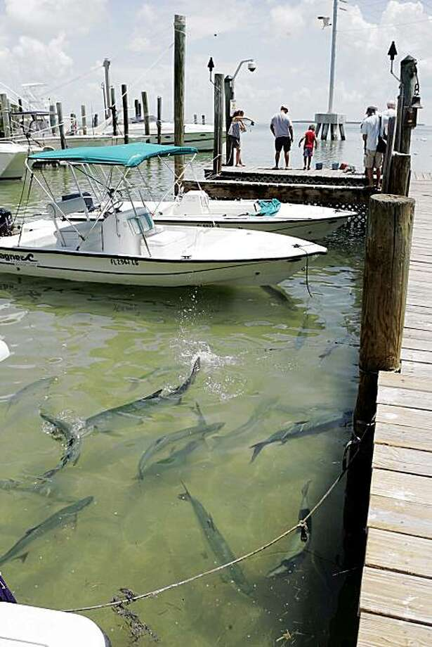 Tarpons roam around the docks at Florida Bay in Islamorada, Fla., Wednesday, July 15, 2009.  A sprawling estuary at the state's southern tip, Florida Bay sits like a saucer beneath a potted plant. Much of Florida's rainwater used to end up here after filtering through the miles of muck and sawgrass of the Everglades. (AP Photo/alan Diaz) Photo: Alan Diaz, AP