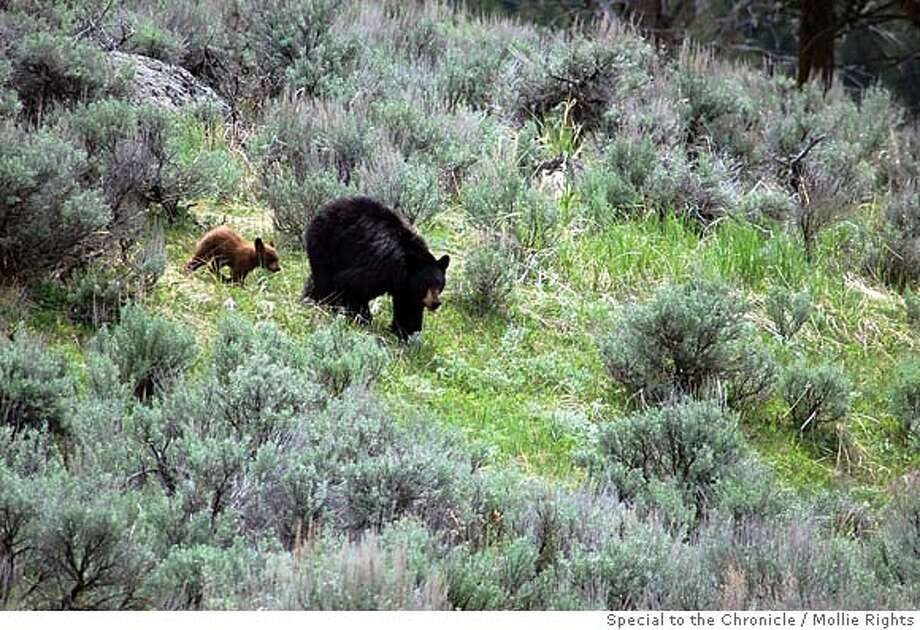 Black bear sow and her unusually attentive cub Photo: Mollie Rights