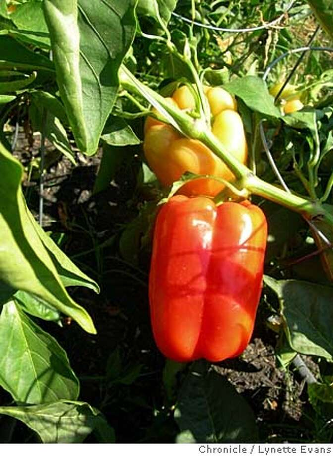 'Blushing Beauty' is a heavy sweet pepper that changes from ivory to red; an All-America winner Photo: Lynette Evans