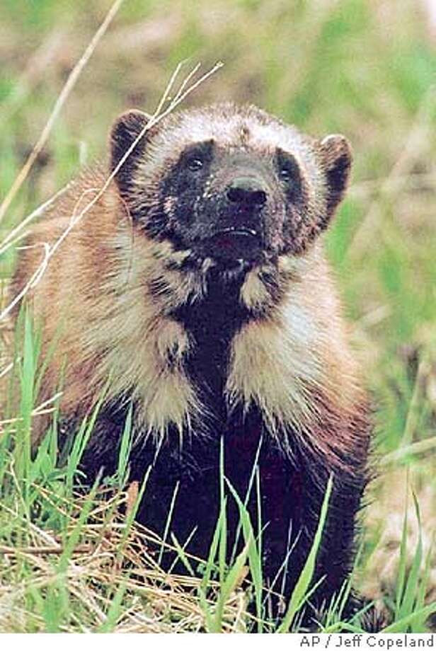 ###Live Caption:This undated photo shows a wolverine in Glacier National Park in Montana, taken by biologist Jeff Copeland. Federal officials say wolverines do not warrant protection under the Endangered Species Act, despite lingering concerns that populations of the rarely seen member of the weasel family could be imperiled, Monday, March 10, 2008. (AP Photo/Glacier National Park, Jeff Copeland, via The Missoulian) ** NO SALES **###Caption History:This undated photo shows a wolverine in Glacier National Park in Montana, taken by biologist Jeff Copeland. Federal officials say wolverines do not warrant protection under the Endangered Species Act, despite lingering concerns that populations of the rarely seen member of the weasel family could be imperiled, Monday, March 10, 2008. (AP Photo/Glacier National Park, Jeff Copeland, via The Missoulian) ** NO SALES **###Notes:###Special Instructions:IMAGE PROVIDED BY JEFF COPELAND, NO SALES Photo: JEFF COPELAND