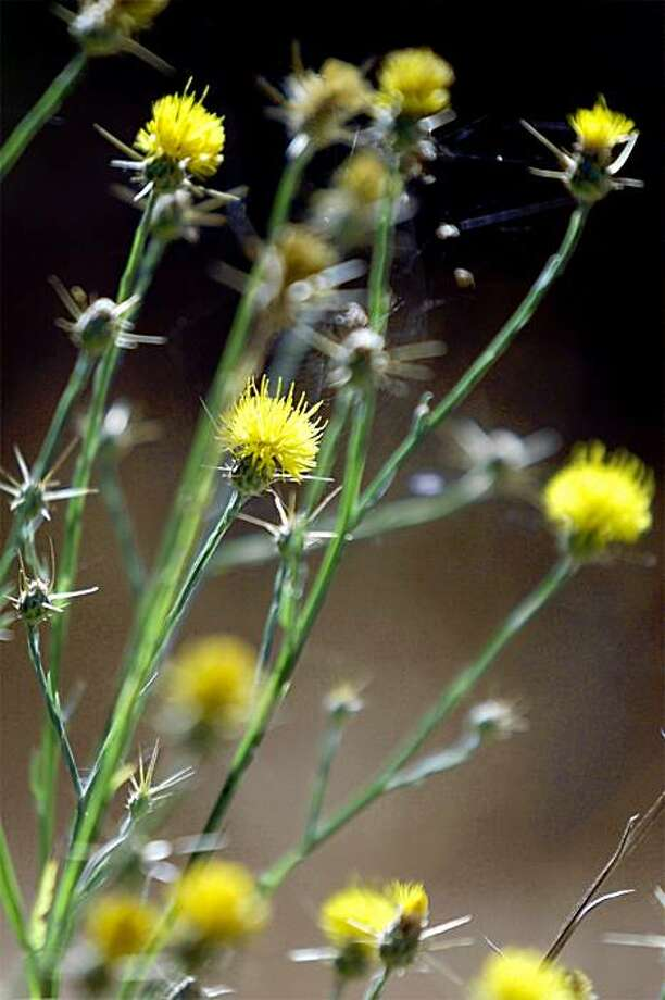 The yellow star thistle, an invasive range land plant from Turkey, is spreading at the Jasper Ridge Biological Preserve at Stanford in Woodside. Photo by Jeff Chiu / the Chronicle. Photo: Jeff Chiu, The Chronicle