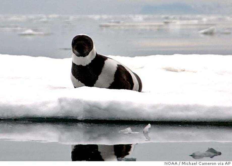 ###Live Caption:This photo provided by the National Oceanic and Atmospheric Administration shows an adult male ribbon seal resting on pack ice in Russia's Gulf of Ozernoy on June 5, 2005. The National Marine Fisheries Service accepted a petition seeking threatened or endangered status for ribbon seals, which have been losing habitat as sea ice recedes. The agency also expanded the status review to include ringed, spotted and bearded seals. (AP Photo/ NOAA, Michael Cameron)###Caption History:This photo provided by the National Oceanic and Atmospheric Administration shows an adult male ribbon seal resting on pack ice in Russia's Gulf of Ozernoy on June 5, 2005. The National Marine Fisheries Service accepted a petition seeking threatened or endangered status for ribbon seals, which have been losing habitat as sea ice recedes. The agency also expanded the status review to include ringed, spotted and bearded seals. (AP Photo/ NOAA, Michael Cameron)###Notes:###Special Instructions:2005 PHOTO PROVIDED BY THE NATIONAL OCEANIC AND ATMOSPHERIC ADMINISTRATION AP provides access to this publicly distributed HANDOUT photo to be used only to illustrate news reporting or commentary on the facts or events depicted in this image. Photo: Michael Cameron