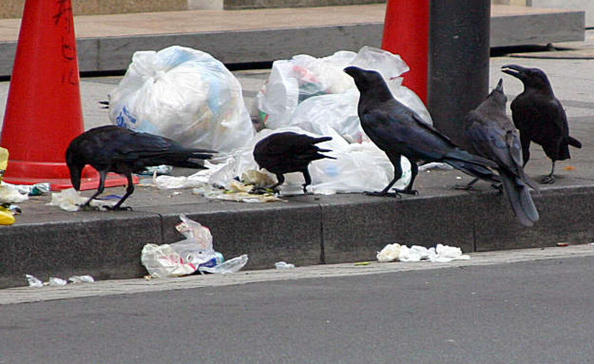 TOKYO CROWS: Crows in the Ginza neighborhood of Tokyo breakfast on garbage. Their number has grown 30 percent in three years. Illustrates TOKYO-CROWS (category i), by Blaine Harden (c) 2009, The Washington Post. Moved Monday, July 27, 2009. (MUST CREDIT: Washington Post photo by Blaine Harden.) Crows in the Ginza neighborhood of Tokyo breakfast on garbage. Their number has grown 30 percent in three years. Illustrates TOKYO-CROWS (category i), by Blaine Harden (c) 2009, The Washington Post. Moved Monday, July 27, 2009. (MUST CREDIT: Washington Post photo by Blaine Harden.)