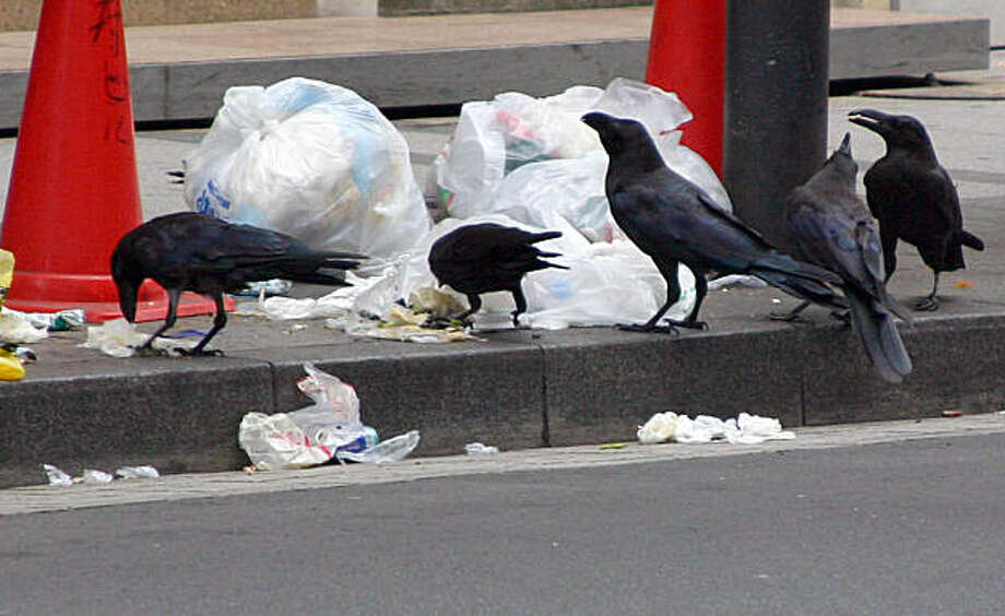 TOKYO CROWS: Crows in the Ginza neighborhood of Tokyo breakfast on garbage. Their number has grown 30 percent in three years. Illustrates TOKYO-CROWS (category i), by Blaine Harden (c) 2009, The Washington Post. Moved Monday, July 27, 2009. (MUST CREDIT: Washington Post photo by Blaine Harden.)  Crows in the Ginza neighborhood of Tokyo breakfast on garbage. Their number has grown 30 percent in three years. Illustrates TOKYO-CROWS (category i), by Blaine Harden (c) 2009, The Washington Post. Moved Monday, July 27, 2009. (MUST CREDIT: Washington Post photo by Blaine Harden.) Photo: Blaine Harden, Washington Post