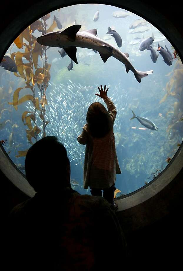 A leopard shark swims above Michael Peterson and his daughter Eva in the Enchanted Kelp Forest of the Splash Zone exhibit at the Monterey Bay Aquarium in Monterey, Calif., on Wednesday, March 12, 2008. The newly-expanded exhibit, which cost $4 million, reopens to the public on March 17. Photo by Paul Chinn / San Francisco Chronicle Photo: Paul Chinn, SFC