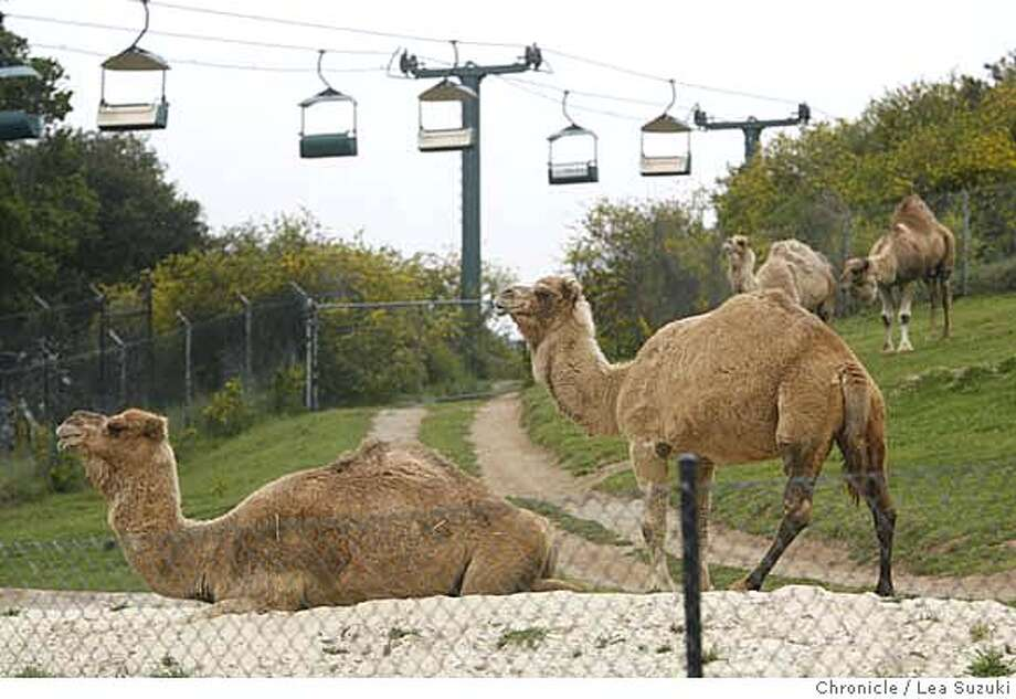 ###Live Caption:On Wednesday, March 19, 2008, camels move about in their enclosure while behind them is seen the chair lift at The Oakland Zoo in Oakland, Calif. In the California! section of The Oakland Zoo, the placement of the chairlift will be moved and instead of a chairlift it will be a gondola used to transport visitors. The Oakland Zoo, in a plan approved by the City Council 10 years ago, for the first time in decades wants to expand its hillside compound to offer more animal exhibits. But some neighbors, who want to be able to hike freely through adjacent Knowland Park and enjoy sweeping views of the Bay, don't approve. Photo by Lea Suzuki / San Francisco Chronicle###Caption History:On Wednesday, March 19, 2008, camels move about in their enclosure while behind them is seen the chair lift at The Oakland Zoo in Oakland, Calif. In the California! section of The Oakland Zoo, the placement of the chairlift will be moved and instead of a chairlift it will be a gondola used to transport visitors. The Oakland Zoo, in a plan approved by the City Council 10 years ago, for the first time in decades wants to expand its hillside compound to offer more animal exhibits. But some neighbors, who want to be able to hike freely through adjacent Knowland Park and enjoy sweeping views of the Bay, don't approve. Photo by Lea Suzuki / San Francisco Chronicle###Notes:###Special Instructions:�2007, San Francisco Chronicle  MANDATORY CREDIT FOR PHOTOG AND SAN FRANCISCO CHRONICLE/NO SALES-MAGS OUT Photo: Lea Suzuki