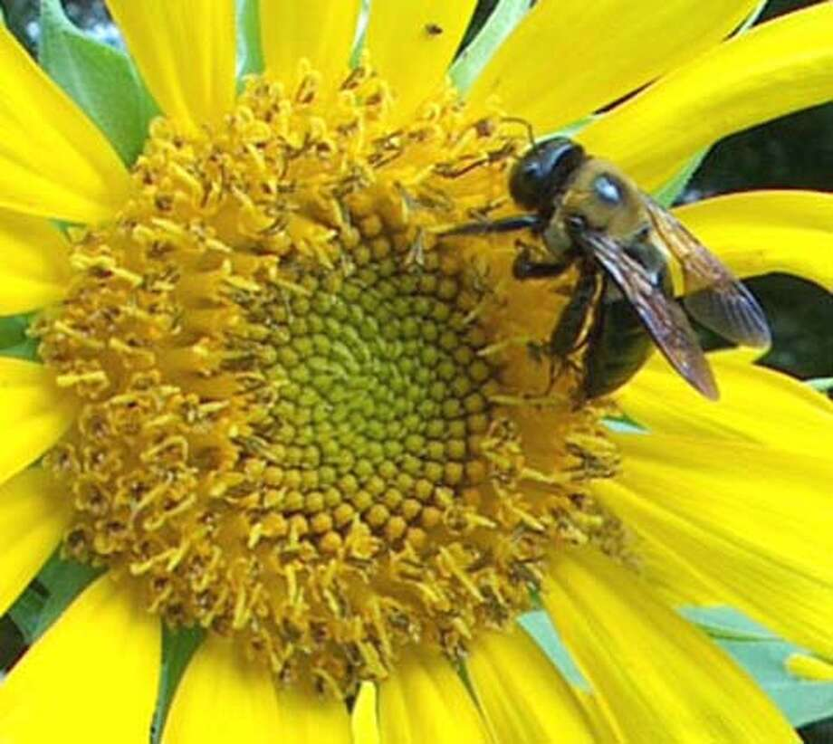 ###Live Caption:Bee meets sunflower###Caption History:Bee meets sunflower###Notes:###Special Instructions: Photo: Ho