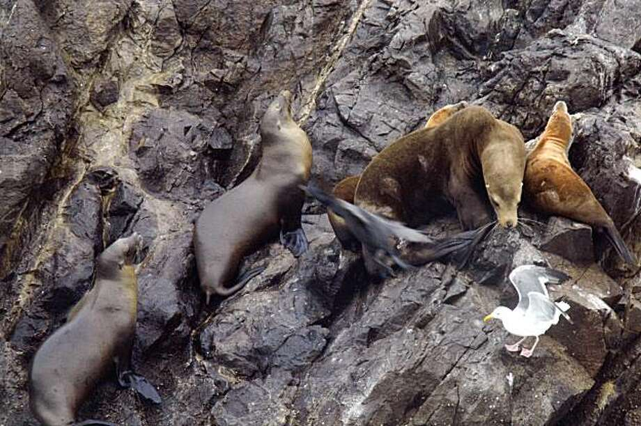 A sea lion peers at a seagull while laying on Seal Rocks north of Ocean Beach on Wednesday July 29, 2009 in San Francisco, Calif. Photo: Lea Suzuki, The Chronicle