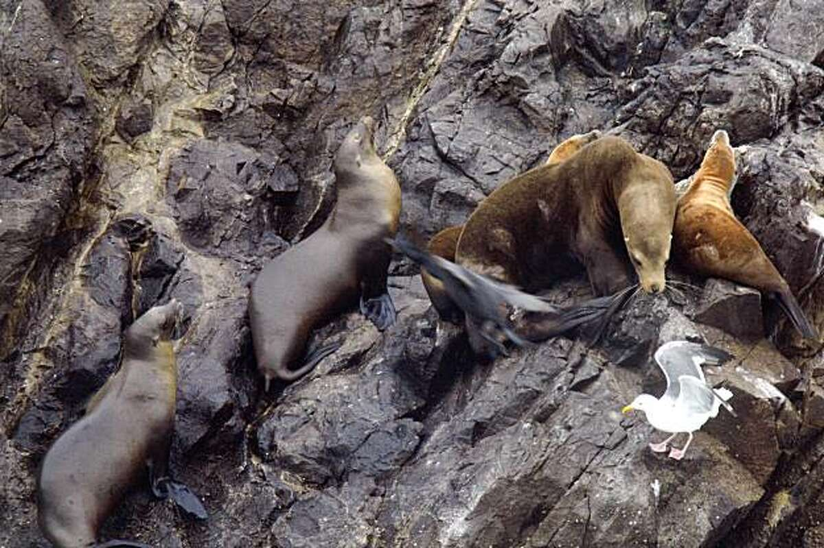 A sea lion peers at a seagull while laying on Seal Rocks north of Ocean Beach on Wednesday July 29, 2009 in San Francisco, Calif.