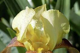 Water droplets rest on yellow and orange bearded iris.