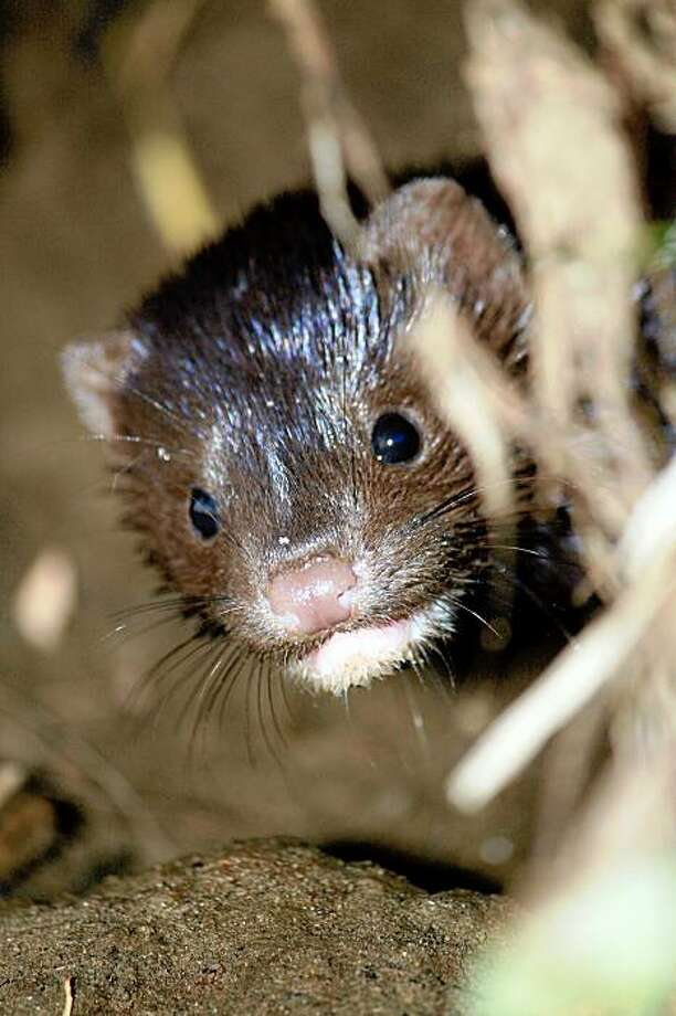 A baby mink hides in a muskrat hole on July 28, 2009 in Martinez, Calif. A family of minks has joined the famed beavers of Alhambra Creek in downtown Martinez. There's a mother mink and four babies. Photo: Courtesy Of Cheryl Reynolds