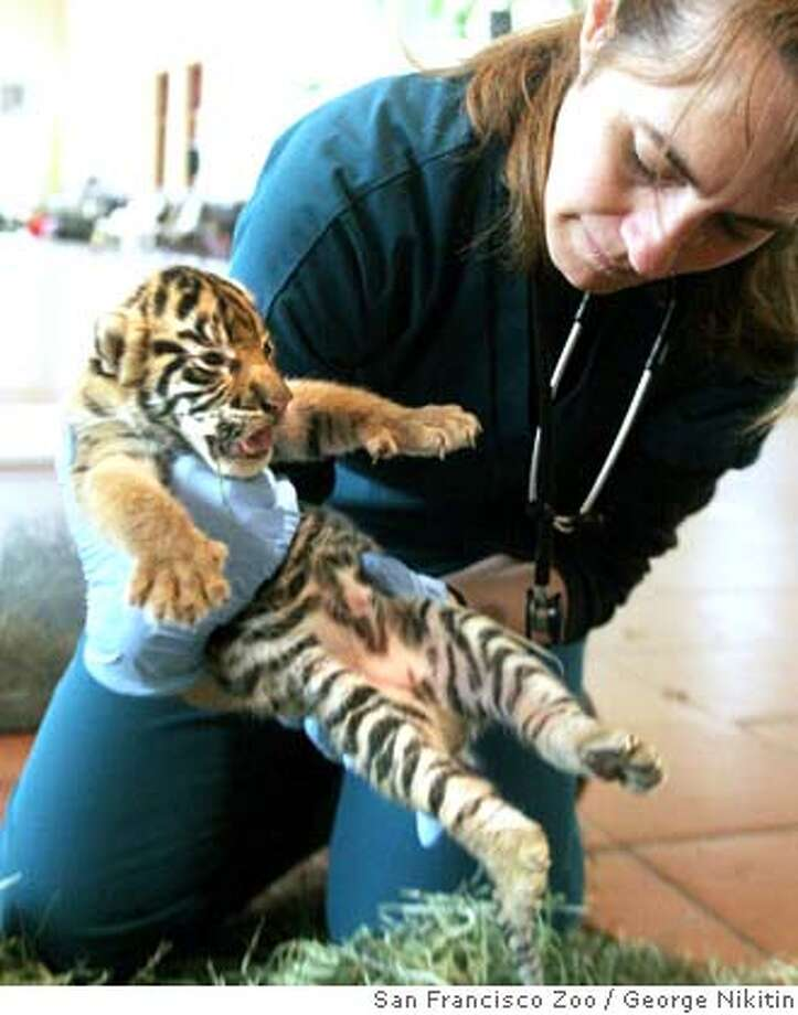 In this photo provided by the San Francisco Zoo, veterinarian, Jacqueline Jencek, gives a 9-day-old Sumatran tiger cub his first health exam, Saturday, March 15, 2008 at the San Francisco Zoo in San Francisco. The approximate 4-pound cub is one of three male cubs, born at the San Francisco Zoo, to Leanne, a 230-pound Sumatran tiger. This is the first litter for the 5-year-old mom and 10-year-old dad, named George. (AP Photo/George Nikitin, San Francisco Zoo). Photo: George Nikitin