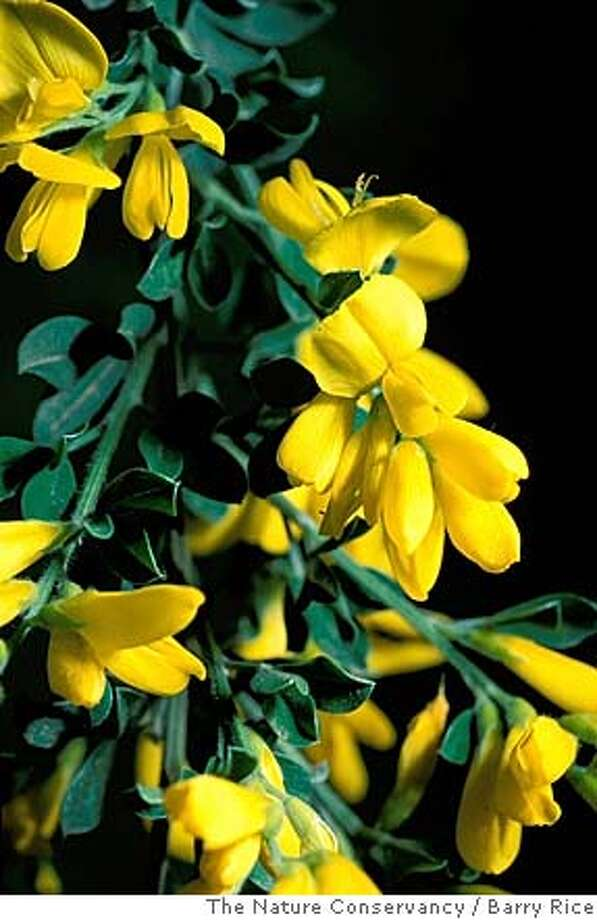 Cytisus scoparius for Home & Garden story on invasive plants. Photo: The Nature Conservancy
