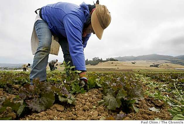 Carolyn Hernandez-Ruiz pulls weeds from a row of organic leafy green lettuce growing at Lakeside Organic Gardens Farm in Watsonville, Calif., on Wednesday, July 1, 2009. Photo: Paul Chinn, The Chronicle