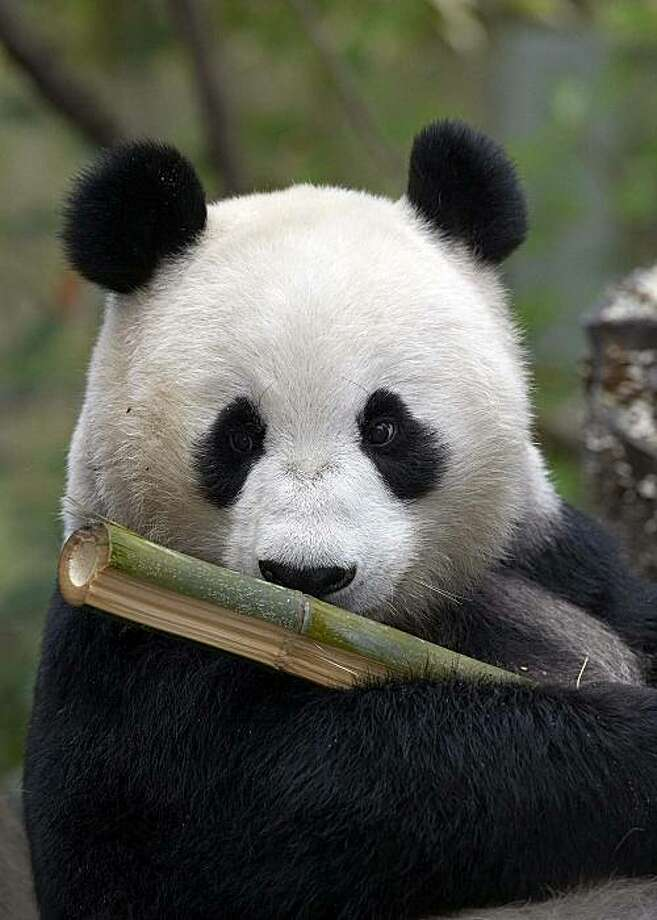 The San Diego Zoo's giant panda Bai Yun Photo: San Diego Zoo, AP
