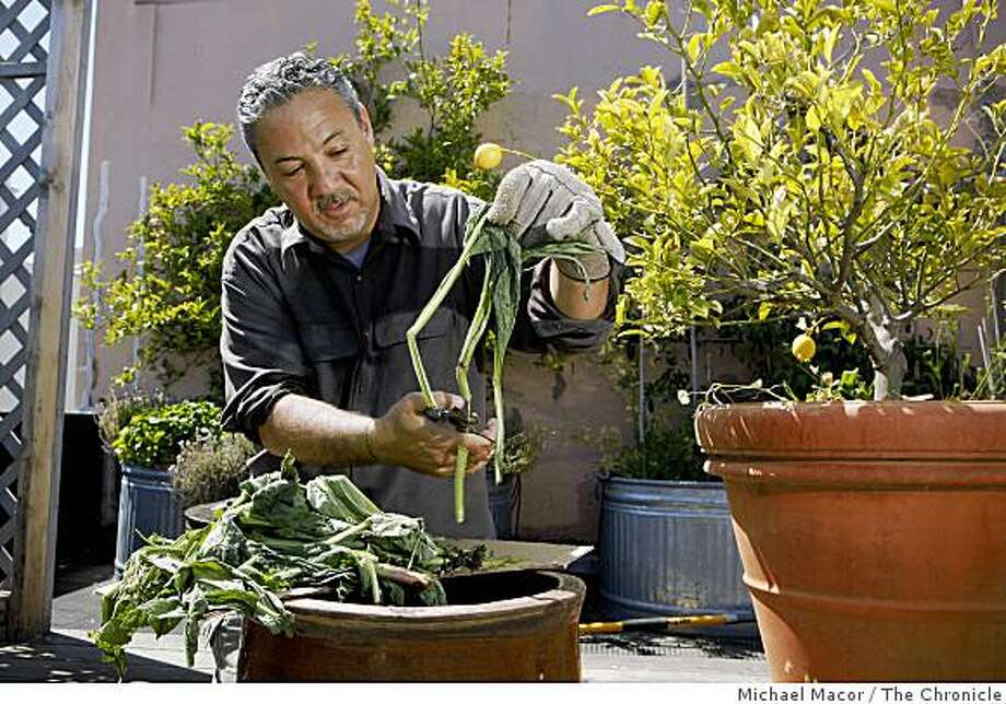 "Fred Bove creates a Comfrey and Nettles Tea. The plants are chopped into small ""pinky sized"" lengths and dropped into a 5 gallon bucket. San Francisco permaculture experts making three different soil amendments on Friday June 19, 2009,  in San Francisco , Calif. Photo: Michael Macor, The Chronicle"