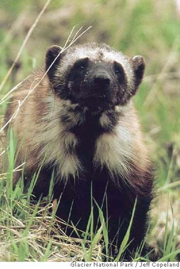 ###Live Caption:This undated photo shows a wolverine in Glacier National Park in Montana, taken by biologist Jeff Copeland. (AP Photo/Glacier National Park, Jeff Copeland, via The Missoulian) ** NO SALES **Ran on: 02-05-2006 The wolverine may not be a solitary scavenger after all, according to the latest research.###Caption History:** ADVANCE FOR THE WEEKEND, JAN. 4-5 ** This undated photo shows a wolverine in Glacier National Park in Montana, taken by biologist Jeff Copeland. (AP Photo/Glacier National Park, Jeff Copeland, via The Missoulian) ** NO SALES **Ran on: 02-05-2006  The wolverine may not be a solitary scavenger after all, according to the latest research.###Notes:###Special Instructions:ADVANCE FOR THE WEEKEND, JAN. 4-5, IMAGE PROVIDED BY JEFF COPELAND, NO SALES Photo: JEFF COPELAND