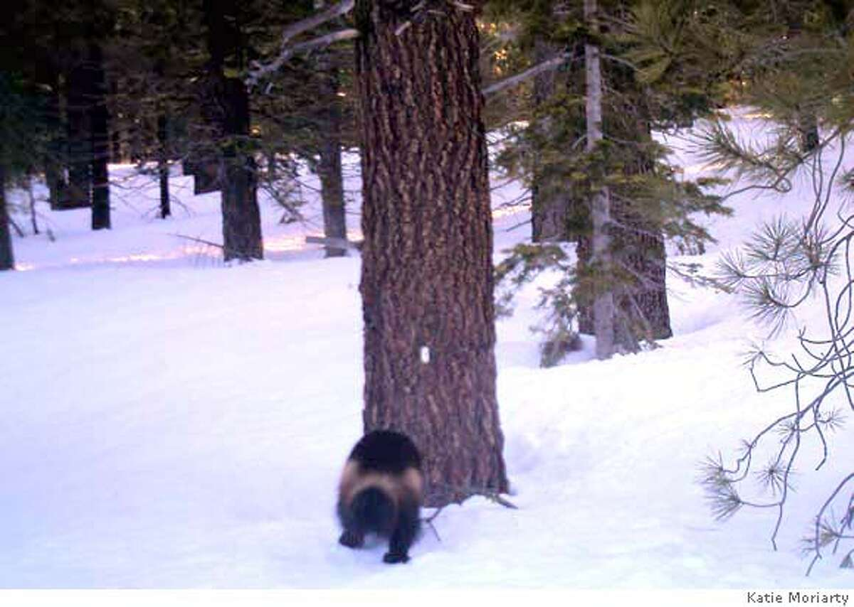 ###Live Caption:Katie Moriarty, a graduate student at Oregon State University, captured the picture of a wolverine recently on a motion-detecting digital camera at a remote field station between Truckee and Sierraville.###Caption History:Katie Moriarty, a graduate student at Oregon State University, captured the picture of a wolverine recently on a motion-detecting digital camera at a remote field station between Truckee and Sierraville.###Notes:###Special Instructions: