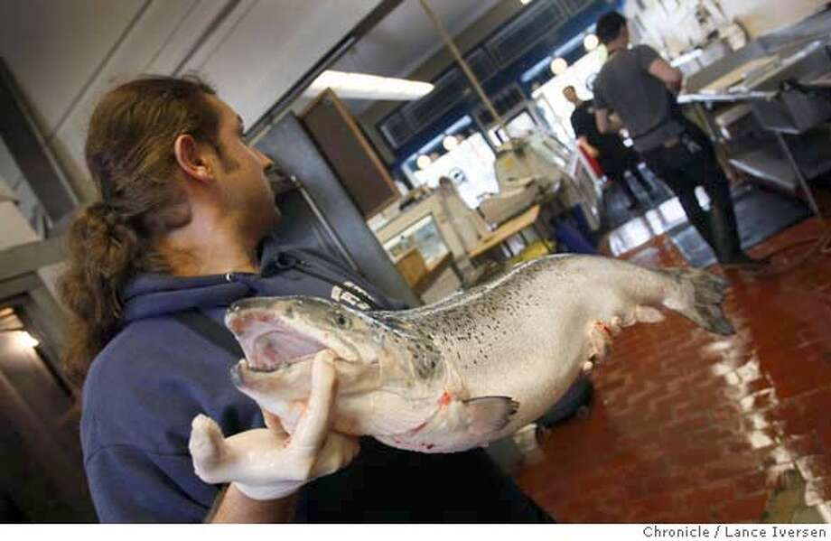 Steve Richey co manager of the Monterey Fish Market in Berkeley Calif removes a 30-pound Scottish Farm Raised Salmon from the locker. Consumers may have to rely on farm raised salmon this year if the California Fish and Game department closes the season do to low numbers of returning fish to the states rivers from the ocean. Berkeley Calif., Wednesday March 12, 2008. Photo By Lance Iversen / San Francisco Chronicle.  Ran on: 03-13-2008  A farm-raised salmon is carried by Steve Richey, co-manager of the retail Monterey Fish Market in Berkeley. Consumers may not be able to get wild salmon if the Department of Fish and Game closes the season because of the low numbers of fish returning to California rivers to spawn. Photo: LANCE IVERSEN
