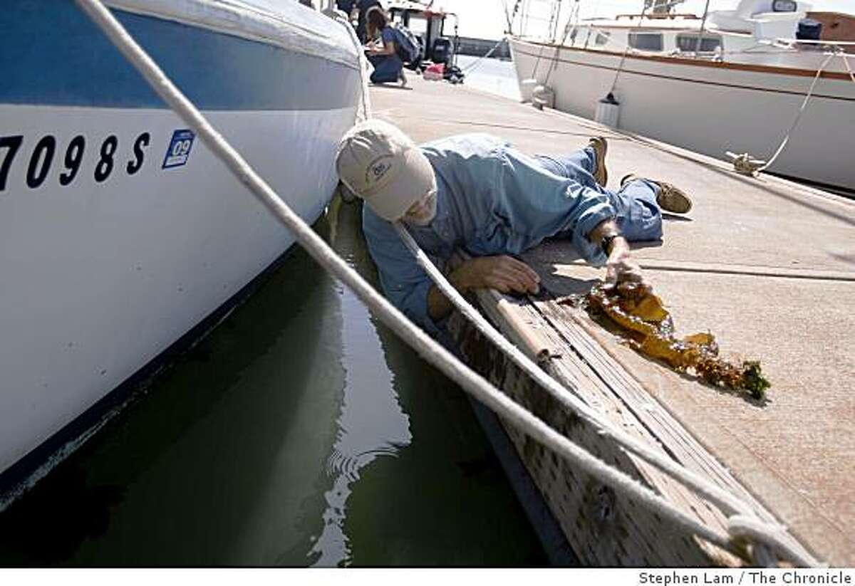 Lead Scientist Lars W.J. Anderson of the United States Department of Agriculture Agricultural Research Service removes a strand of Undaria, an invasive, fast-growing kelp specie from a kneel of a boat docked at Pier 40 in San Francisco Thursday, July 9, 2009. As a kelp native to Japan, China and Korea, Undaria appeared in Southern California in 2000 and was recently discovered in San Francisco in May where scientists fear it might interfere with other native coastal kelps that supports sea life. Though also known as wakame when it's in miso soup, Undaria kelp within the bay shall not be harvested and eaten due to contamination from both boats and runoffs in the marina.