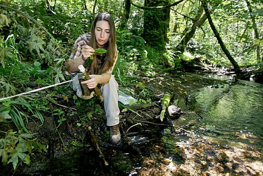 UC Berkeley researcher Catherine Eyre collects samples inside the Peninusula Watershed along PiIarcitos Creek San Mateo, Calif. on Wednesday July 22, 2009. The rhododendron leaves are used as hosts to collect spores over a period of three week which are then analyzed and tested for sudden oak death. Photo: Michael Macor, The Chronicle