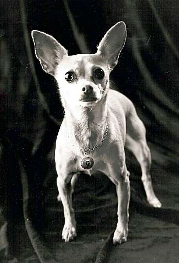 This undated image provided by Studio Animal Services shows Gidget the Chihuahua, whose Taco Bell commercials made her a star, suffered a massive stroke Tuesday July 21, 2009 at her trainer's home in Santa Clarita, Calif., and had to be euthanized. Photo: AP