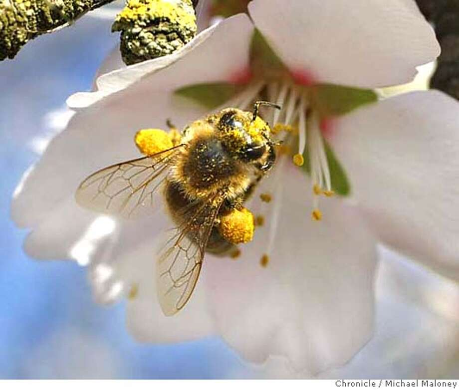 "###Live Caption:A special breed of honeybee from Arizona gathers pollen from an almond blossom in a Dixon, Calif. orchard on March 3, 2008. The two orange colored ""pollen baskets"" or corbicula are visible on it's legs. Researchers at UC Davis are experimenting with various breeds of bees hoping to find one that can resist the diseases and parasites that are affecting bees throughout the country, a huge threat to agriculture. Bees are needed to pollinate many of California's crops, including the almond trees now in full bloom. Photo by Michael Maloney / San Francisco Chronicle###Caption History:A special breed of honeybee from Arizona gathers pollen from an almond blossom in a Dixon, Calif. orchard on March 3, 2008. The two orange colored ""pollen baskets"" or corbicula are visible on it's legs. Researchers at UC Davis are experimenting with various breeds of bees hoping to find one that can resist the diseases and parasites that are affecting bees throughout the country, a huge threat to agriculture. Bees are needed to pollinate many of California's crops, including the almond trees now in full bloom. Photo by Michael Maloney / San Francisco Chronicle###Notes:***###Special Instructions:MANDATORY CREDIT FOR PHOTOG AND SAN FRANCISCO CHRONICLE/NO SALES-MAGS OUT Photo: Michael Maloney"