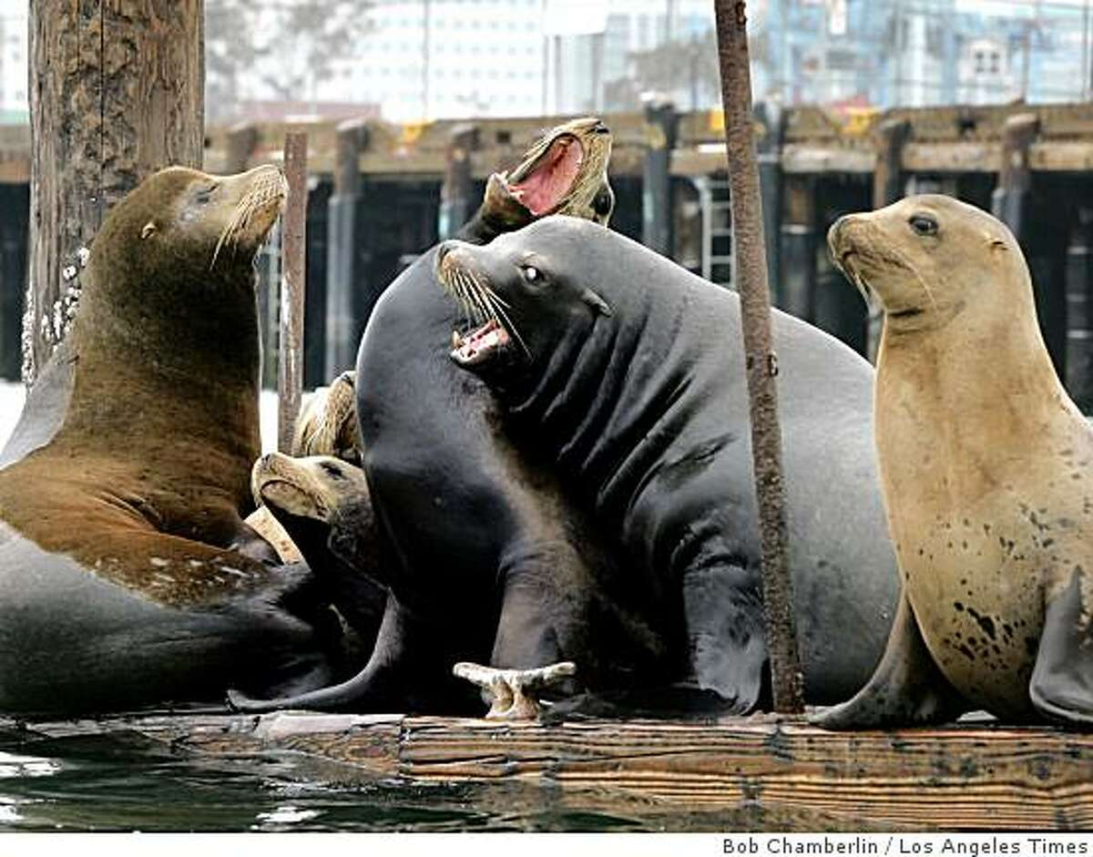 Sea lions occupy a vacant dock in San Pedro, Calif. The area was once home to the largest commercial fishing fleet in the U.S. Illustrates CALIF-FISHERMEN (category a) by Ronald D. White (c) 2009, Los Angeles Times. Moved Moved Tuesday, July 14, 2009. (MUST CREDIT: Los Angeles Times photo by Bob Chamberlin.)