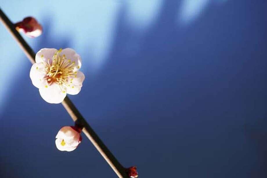 plum blossom Photo: Ooyoo