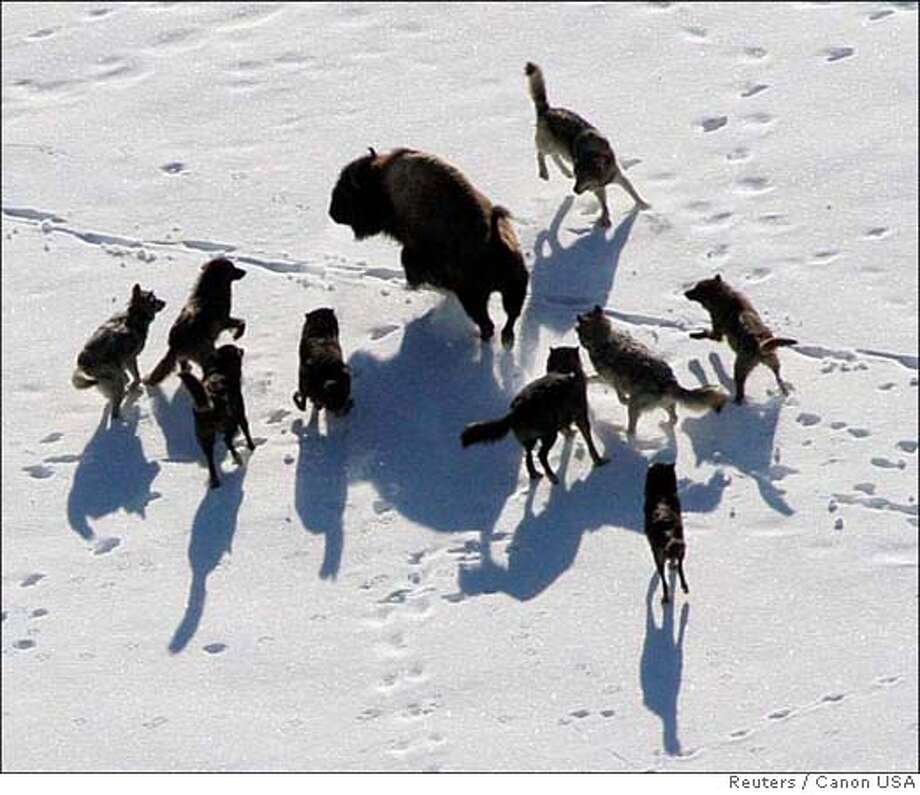 Gray wolves are seen nearing a Bison in Yellowstone National Park in this undated handout photograph released on February 21, 2008. Gray wolves in the northern Rocky Mountains, listed as endangered for more than three decades, no longer need protection under the Endangered Species Act, the U.S. government said. Environmental groups disagreed, saying the species has not fully recovered and vowed to sue to continue to protect wolves from hunting and other methods of killing that the groups said would likely follow the government's move. REUTERS/Canon USA/Handout (UNITED STATES). EDITORIAL USE ONLY. NOT FOR SALE FOR MARKETING OR ADVERTISING CAMPAIGNS. EUO Photo: HO