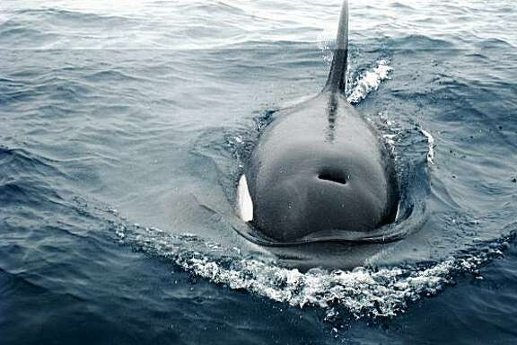 Killer, or cuddly? ... An orca sidled up to the Oceanic Society Farallones excursion on July 5