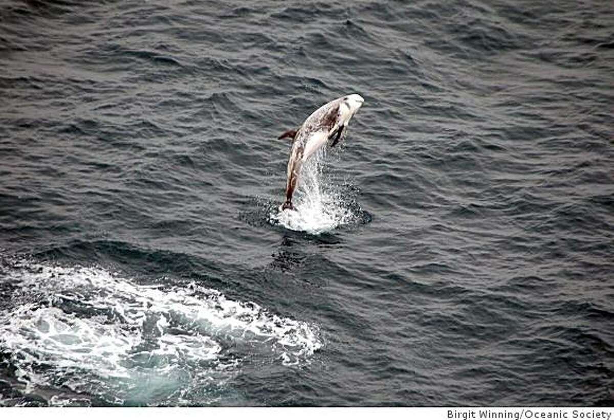 A breaching Risso's dolphin was part of a sensational wildlife show on the July 5, 2009, Oceanic Society excursion to the Farallones.