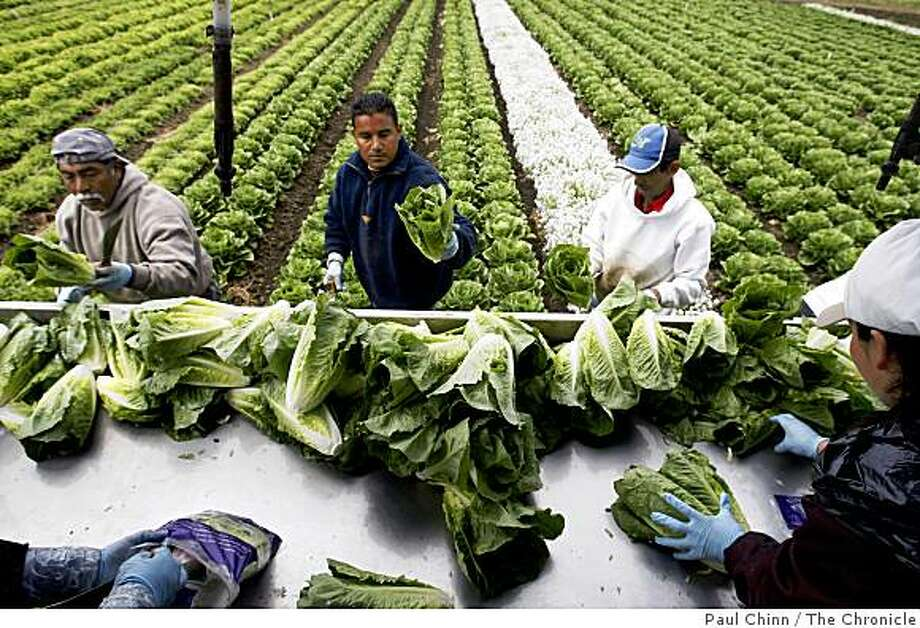 Farm workers harvest and package hearts of romaine lettuce to be shipped directly to market at Lakeside Organic Gardens Farm in Watsonville, Calif., on Wednesday, July 1, 2009. Photo: Paul Chinn, The Chronicle