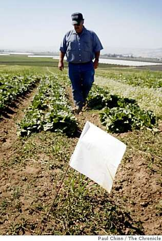 Organic farmer Dick Peixoto walks through an unharvested section of a lettuce field at Lakeside Organic Gardens Farm in Aromas, Calif., on Thursday, July 2, 2009. White flags mark the areas that can't be harvested as a precaution to prevent e. coli contamination after a deer was spotted wandering through the field a few weeks ago. Photo: Paul Chinn, The Chronicle