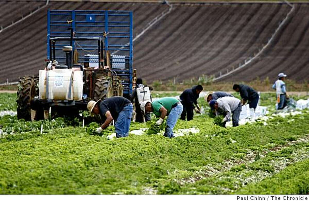 Farm workers harvest organically-grown lettuce at Lakeside Organic Gardens Farm in Watsonville, Calif., on Wednesday, July 1, 2009.