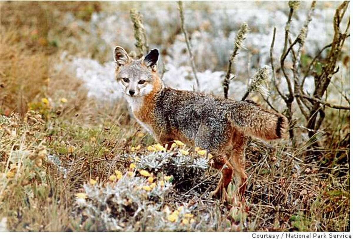 The Island Fox of the Channel Islands is a species struggling to recover its numbers in a vastly altered habitat. All the Channel Island subspecies of Island Fox are federally listed as endangered species. Courtesy/National Park Service