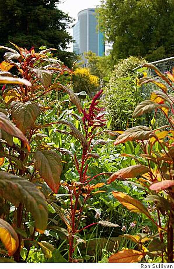 Amaranth and skyscraper in the OBUGS school garden Photo: Ron Sullivan