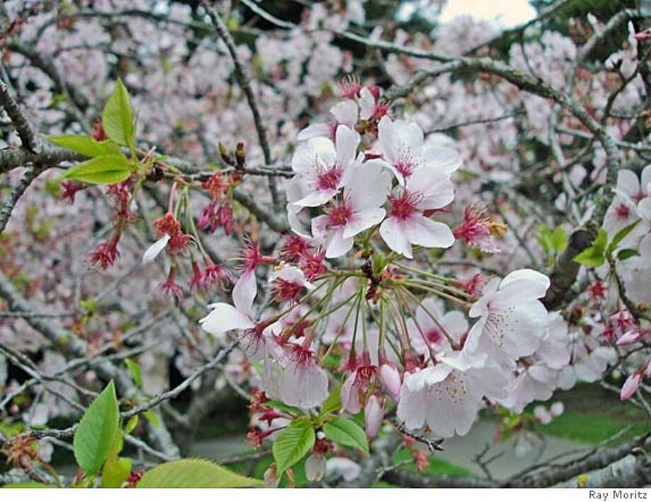 Even a simple fruit producing cherry can brighten your spring garden, and provide a sweet summer reward as well. Photo: Ray Moritz