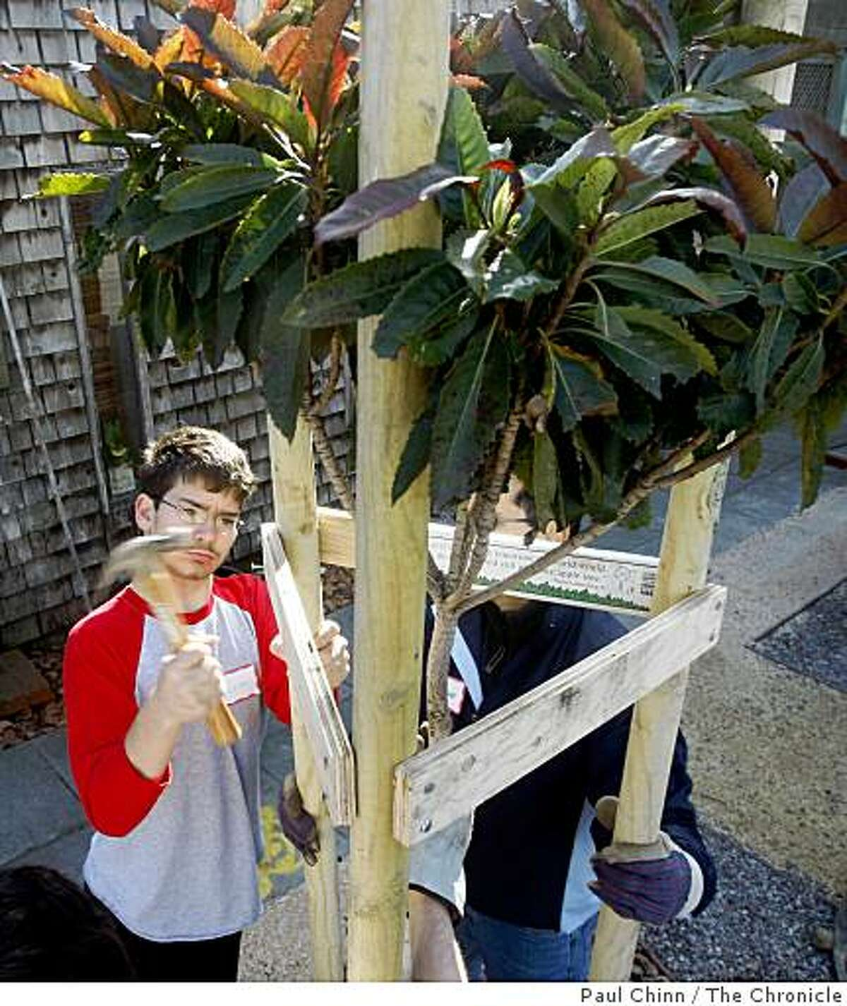 Scott McLean secured a brace when neighborhood volunteers and the Friends of the Urban Forest organization planted trees on Shrader Street in the Haight district in San Francisco, Calif. on Saturday, Feb. 16, 2008.PAUL CHINN/San Francisco Chronicle