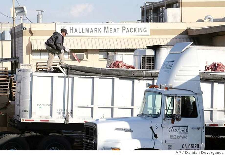 "A worker throws a piece of meat among the cattle carcases scraps dropped into a parked truck at the Hallmark Meat Packing slaughterhouse in Chino, Calif. Wednesday, Jan. 30, 2008. Video footage showed workers at Hallmark Meat Packing repeatedly kicking cows and ramming them with the blades of a forklift as the animals squealed in pain. Hallmark supplies the Westland Meat Company, which processes the carcasses. The facility is a major supplier to a USDA program that distributes beef to needy families, the elderly and to schools through the National School Lunch Program. Westland was named a USDA ""supplier of the year"" for 2004-2005 and has delivered beef to schools in 36 states.(AP Photo/Damian Dovarganes) Photo: Damian Dovarganes"