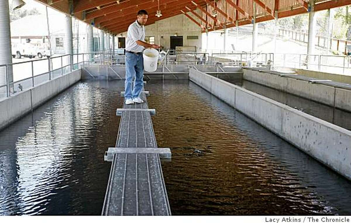 Ben White, head biologist at Warm Springs Hatchery feeds the fry Steelhead trout when they are a couple of months old, Thursday July 2, 2009, in Geyserville, Calif.