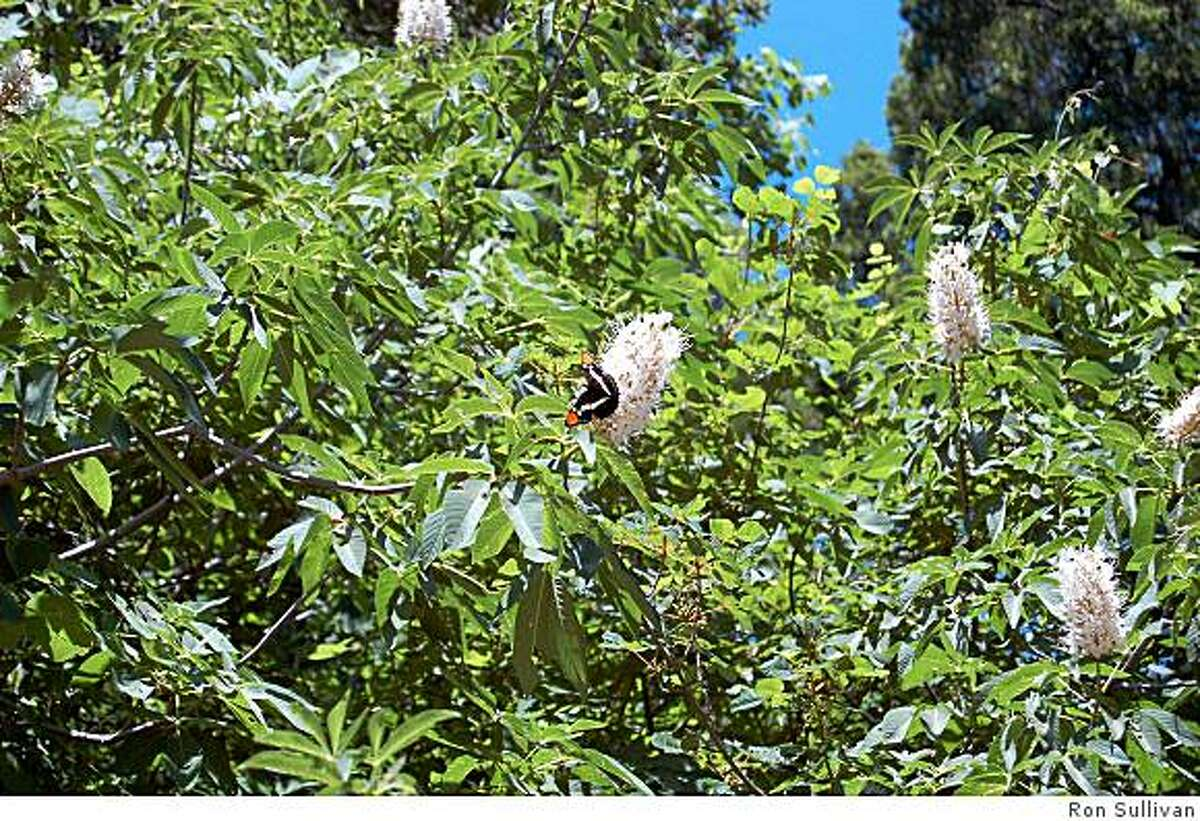 Native pollinators like the California sister butterfly are immune to whatever toxins California buckeye flowers have that affect honeybees.