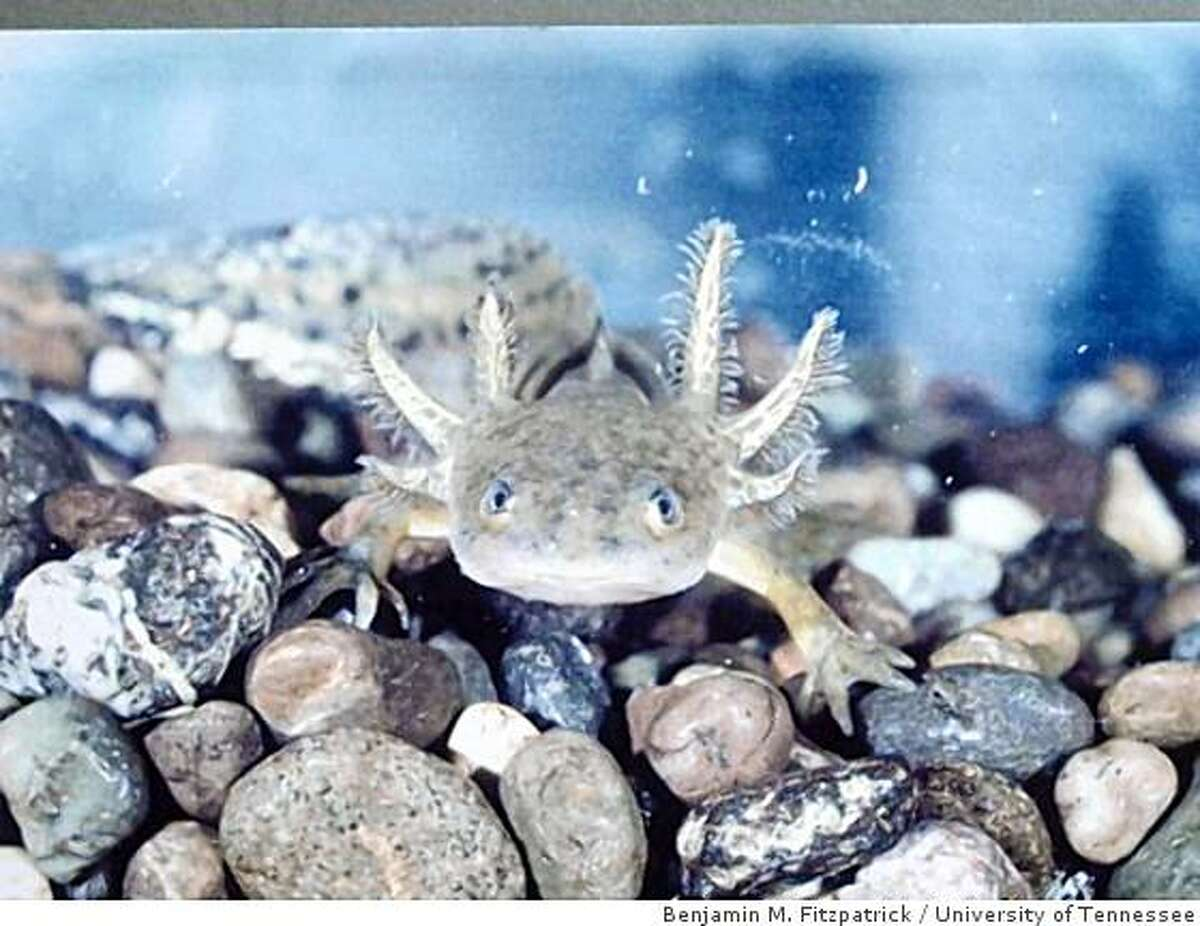 Undated handout picture of a Barred Tiger Salamander larva. UC Davis researchers have discovered that an alien salamander, introduced from Texas 60 years ago, has hybridized with the endangered native California Tiger Salamander and the hybrids are doing terrible damage. They cannibalize the natives, cause their larvae to be trapped in drying pools, and kill off California Chorus frogs, California red-legged frogs, the California long-toed salamander.