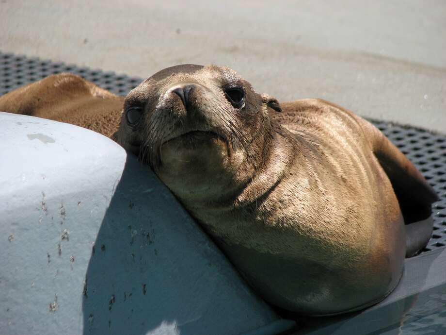 A year-old sea lion is rescued from the median of Interstate 880 near the Oakland Coliseum on June 22. Photo: Marine Mammal Center